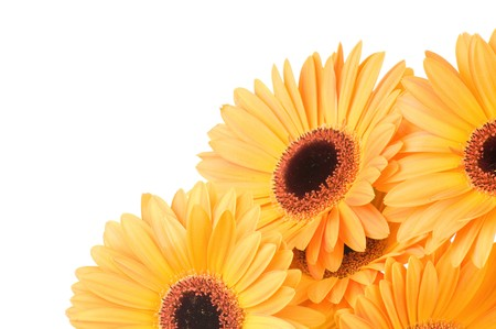 Gerber flowers isolated on white background Stock Photo - 7472573