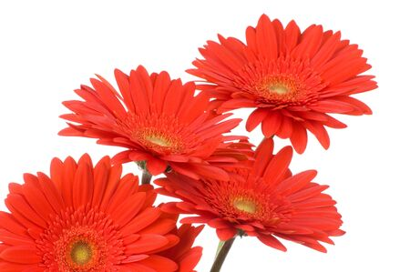 Gerber flowers isolated on white background photo
