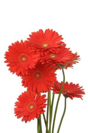 Gerber flowers isolated on white background Standard-Bild