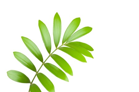 Fresh green leaf isolated on white background Stock Photo - 7796440