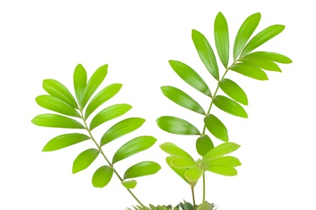 Fresh green leaf isolated on white background Stock Photo - 7796447