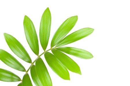 Fresh green leaf isolated on white background Stock Photo - 7796459
