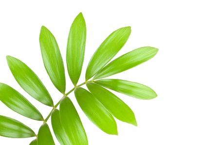 Fresh green leaf isolated on white background Stock Photo - 7796459
