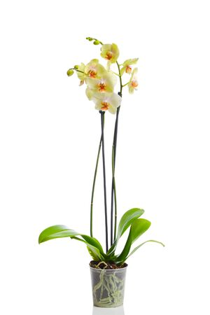 Orchid isolated in white photo