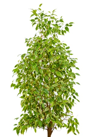 Weeping Fig  Ficus Benjamina  isolated on white background photo