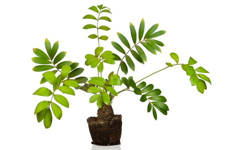 Zamia furfuracea tree isolated on white background photo