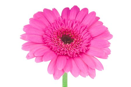 christmas pink: Pink gerber flower isolated on white background
