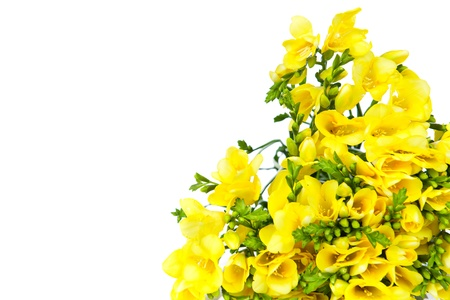 Yellow freesia isolated on white background photo