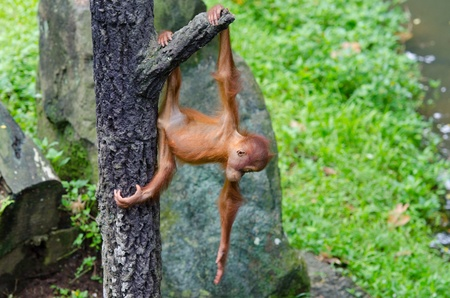 Orangutang  Pongo  baby playing on the tree photo