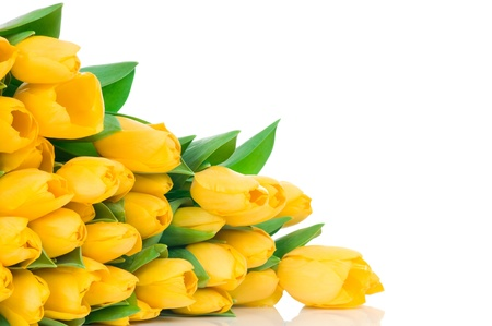 Yellow tulips isolated on white background photo