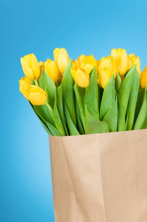 Yellow tulips on blue background photo