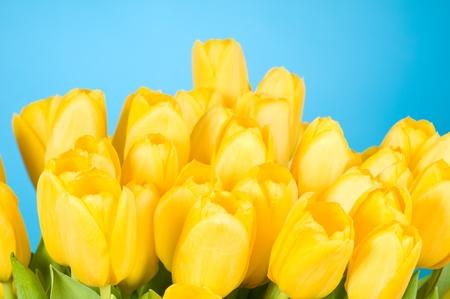 Yellow tulips on blue background photo