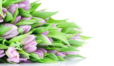 Violet tulips isolated on white background  photo