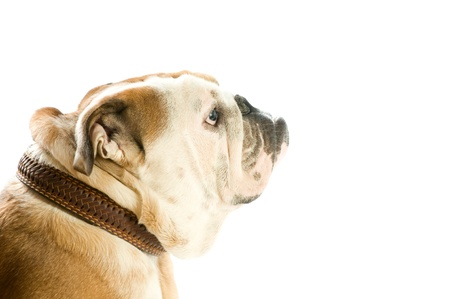 English bulldog isolated on white background photo