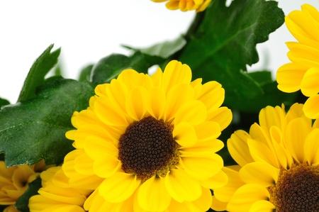 Chrysanthemum flowers Stock Photo - 18913396
