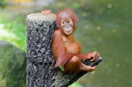 red animal: Orangutan Pongo baby sits on the tree