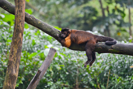 tufted: Tufted capuchin monkey asleeps