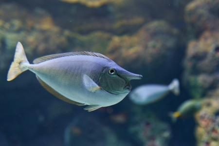 Close-up image of Unicorn Surgeonfish in water photo