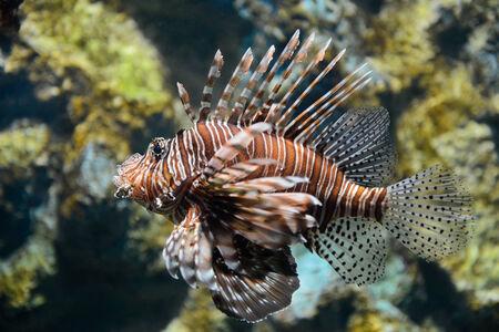 Portrait of lionfish photo