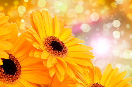 and bouquet: Fiori d'arancio Gerber su sfondo di colore Archivio Fotografico