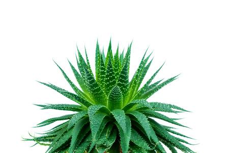 アロエ植物