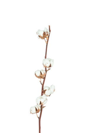 Cotton twig on white background Stock Photo