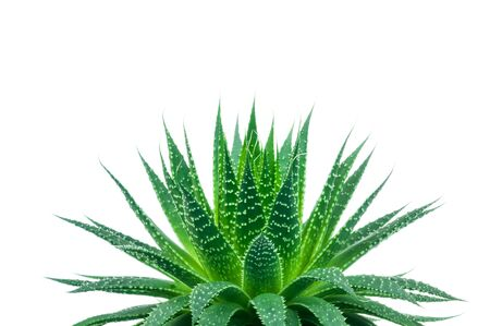 green plants: Aloe plant on white background Stock Photo