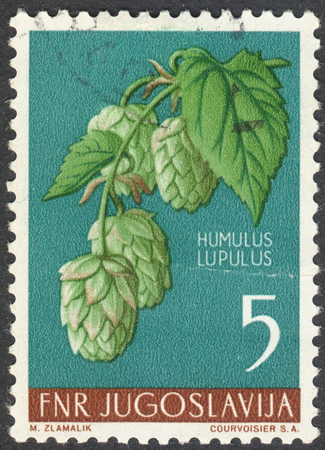 lupulus: MOSCOW, RUSSIA - CIRCA MAY, 2016: a post stamp printed in YUGOSLAVIA  shows a Humulus lupulus plant, the series Local Flora, circa 1955