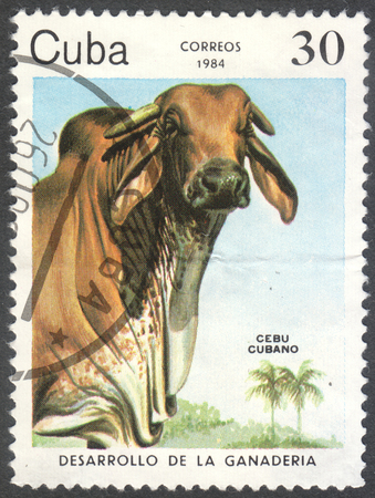 bos: MOSCOW, RUSSIA - CIRCA JUNE, 2016: a post stamp printed in CUBA shows a Cuban Zebu (Bos primigenius indicus) cow, the series Development of cattle-breeding, circa 1984 Editorial