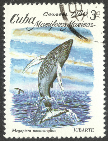 megaptera novaeangliae: MOSCOW, RUSSIA - CIRCA SEPTEMBER, 2016: a stamp printed in CUBA shows a Megaptera novaeangliae, the series Marine Mammals, circa 1980