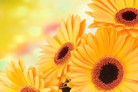 色の背景上のガーバーの花の写真 写真素材
