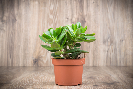 Crassula plant in the pot on wooden background