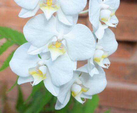 orchidea: close up of orchidea flowers