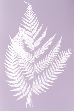 frond: fern frond silhouette - white silhouette on violet color background- symbol of New Zealand