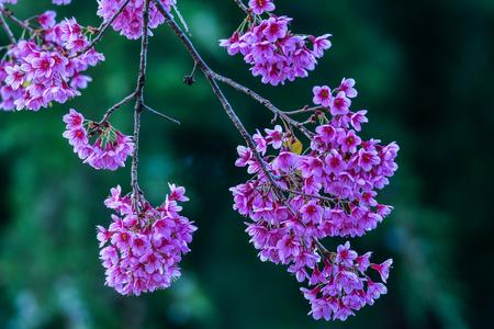 himalayan: Pink Wild Himalayan Cherry Stock Photo