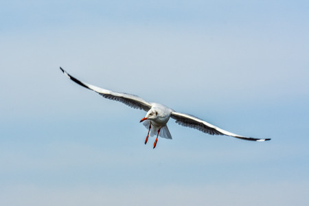 baptize: Flying Seagull in the sky over the sea.