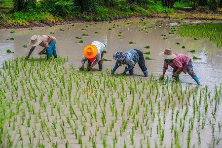 Farmers are growing rice in the farm in rural of Thailand Stock Photo