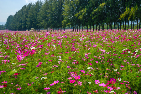 Cosmos flowers farm in clear sky day.