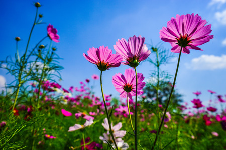 polen: Cosmos flowers in ant eye view in clear sky day.