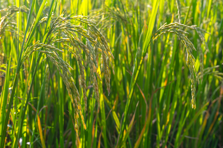 Closed up ear of ruce in rice farm in rural of Thailand.