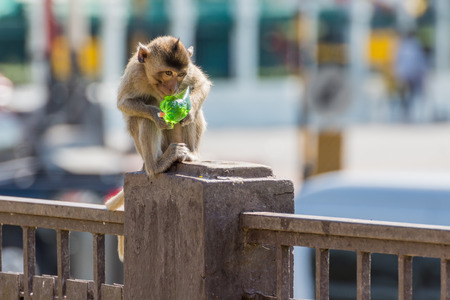 Monkey eating green syrup on the concrete pole in park Stock Photo