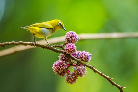 calmness: Oriental white-eye holing on branch in national park