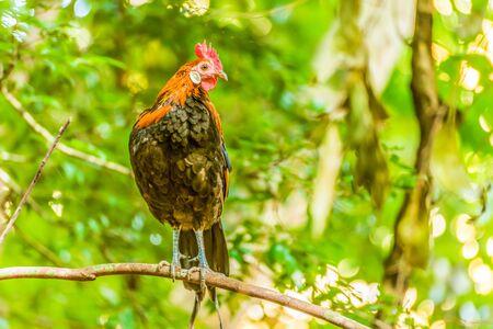 Thai native chicken holding branch in public park
