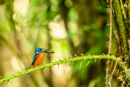Kingfisher with small fish in its mouth in forest of Thailand Stock Photo