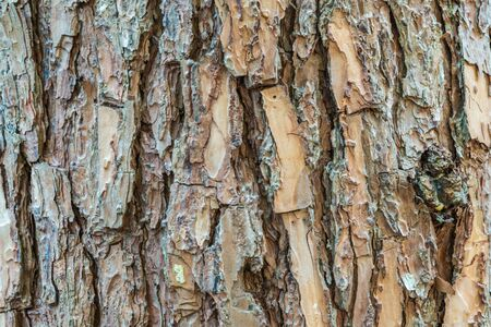 wrinkled rind: Texture of bark on pine tree trunk in Thailand national park Stock Photo