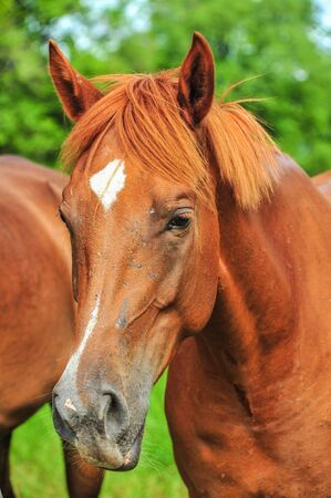 Closeup brown horse in farm Stock Photo