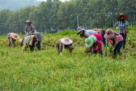 Chiangmai, Thailand - October 25, 2015: Thai farmers are harvesting leek in the farm in traditional harmony.