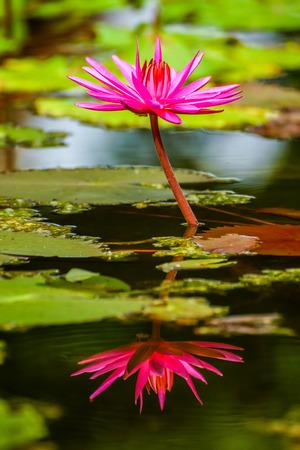 Beautiful blossom pink lotus in swamp