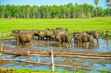 Buffaloes covered with mud on rice farm in rural of Thailand