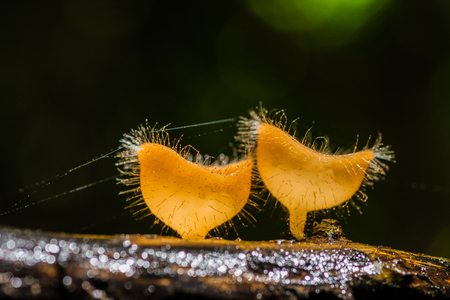 Beautiful hairy mushrooms on decayed wood in rainforest in rainy season of Thailand